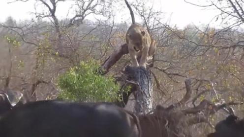 """狮子抓野牛反被牛群""""追杀"""",被逼到树上保命,镜头拍下搞笑画面"""