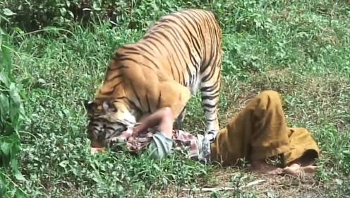 女子放生老虎,5年后偶然再相遇,老虎直接扑了上去咬住头