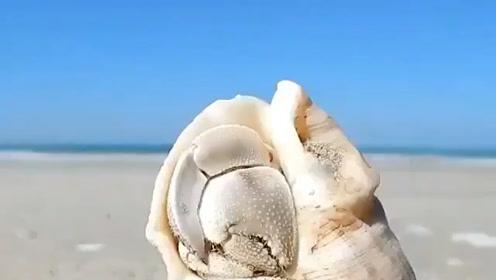 羞答答的螃蟹