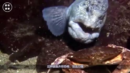 """日本福岛核泄漏曝光:""""变异""""动物满街跑,沿海""""狼鱼""""到处游"""