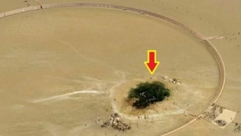 生命力最顽强的大树,在沙漠中活了整整500年