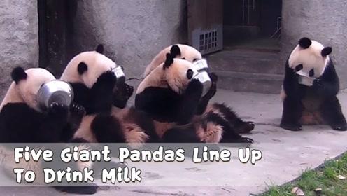 这未免也太可爱了,5只大熊猫排排坐喝奶奶,心都要萌化了
