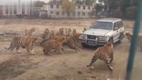 老虎包围了车子,司机冒着危险打开车门,镜头记录惊险一幕!