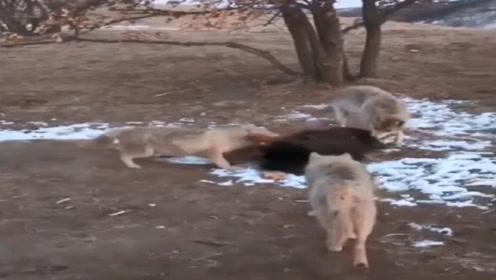 藏獒王正在地上睡觉,4只野狼将它团团围住,这下有好戏看了!