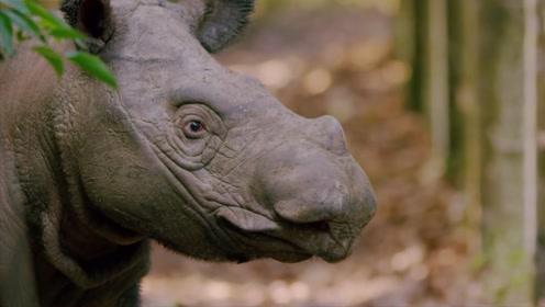 苏门答腊犀牛,已无家可归,有可能成为这世上最后一只犀牛!
