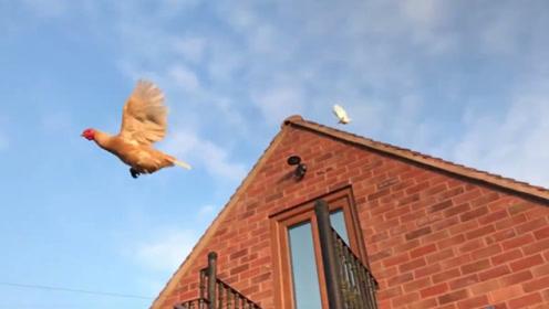 男子说自己家的鸡会飞,就像是一只鸟,刚开始大家还不相信