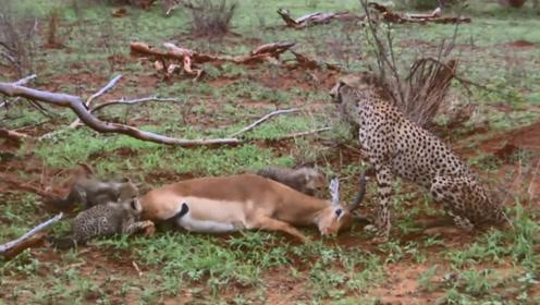 机智的羚羊,被豹子逮住后装死,趁豹子不注意起身就跑!