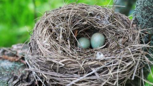 为何鸟巢都是露天的?遇到大雨怎么办?看完解开多年疑惑