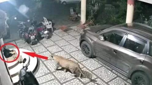 野生豹子闯入居民区,一口咬住看门狗,狗狗的反应让人意外
