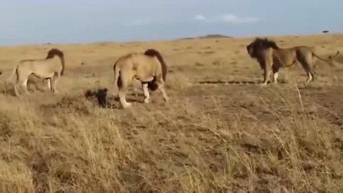 三头旗鼓相当的雄狮都想争夺狮王的地位,但又不敢轻举妄动,结局会如何呢