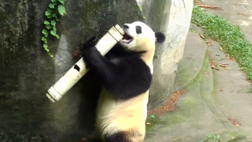 水管突然打到熊猫,熊猫越想越气,下一秒开始疯狂报复!