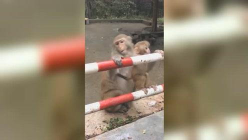 小猴贪玩杆上乱翻猴妈一旁紧紧守护 网友:母爱令人感动!