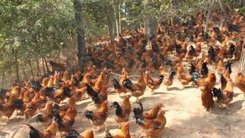 为什么农村散养土鸡的地方都会变得光秃秃?说出来你别不信!