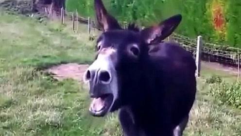 小伙骗驴吃下一个辣椒,接下来请不要笑,驴:你个糟老头子