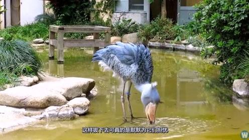 喜欢拔自己身上羽毛送人的动物,又蠢又萌,却爱捕食鳄鱼