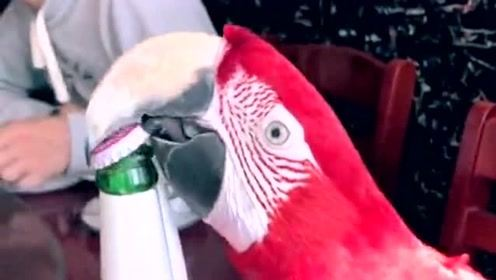 这只鹦鹉才是真正的高手,居然能用嘴开瓶盖,就问你服不服?