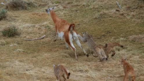 四头美洲狮围攻一只羊驼,还让它给跑了,羊驼:够我吹嘘一辈子了