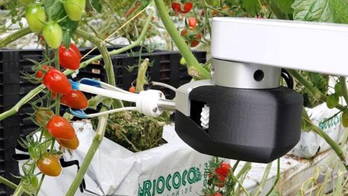 老外摘果子也用高科技!这圣女果机器人,全程自动采摘,专挑熟的