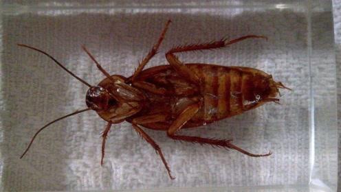 家里有蟑螂别烦恼,只需一个塑料瓶,蟑螂来多少灭多少