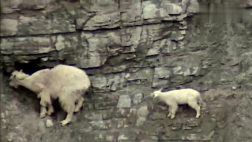 老鹰狩猎岩山羊的全程,幸好有拍下,场面太震撼了