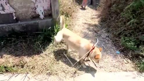 萌宠 每天一次遛狗时间,土狗被栓久了,只要出来就是热情奔放!
