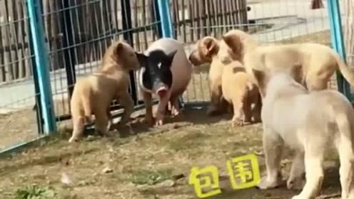 小狮子:感动不?小猪:不敢动。五分钟后,小狮子:妈妈,我让午饭给揍了。