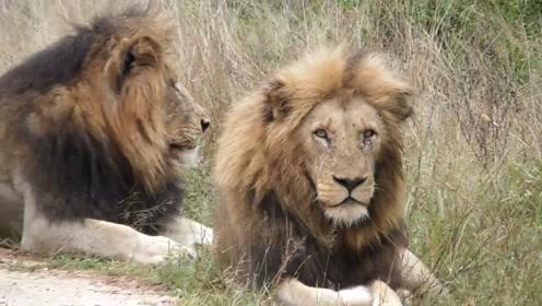 3只身经百战的黑鬃毛雄狮,眼神中就能发现都是狠角色!