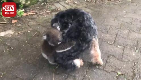 小考拉误将狗子当妈 抱在后背不撒手狗子崩溃