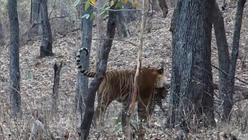 花豹带幼崽外出觅食,却不幸遭遇老虎,镜头记录全过程