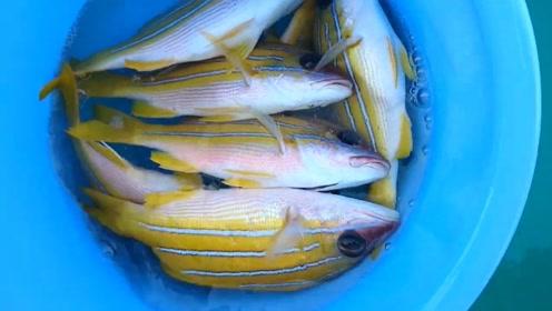 小渔港的资源太好了,清一色的黄笛鲷鱼!