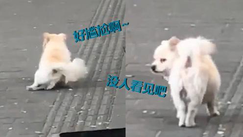 狗狗外出散步开心蹦跶突然脚滑 网友:像极了穿高跟鞋别到jio的我
