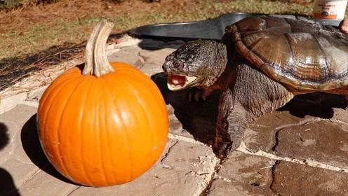 海龟会喜欢吃南瓜吗?老外做测试,网友:倒是给人家扶着点啊