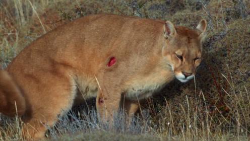 驼马被4只美洲狮捕食,不甘心被吃,以一敌四重创美洲狮