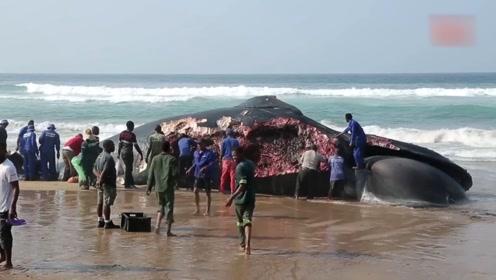 50吨重的蓝鲸搁浅,遭到当地人拿刀抢肉,场面十分的壮观