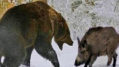 """棕熊活吃野猪,扑上去直接就""""吃"""",镜头记录精彩过程"""