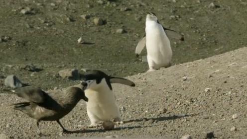 海鸥欲偷盗企鹅蛋,被发现后一顿暴打,吓得大小便失禁