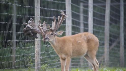 鹿为了躲避采集鹿茸,5年时间头上长满了角,头都快被压垮了!
