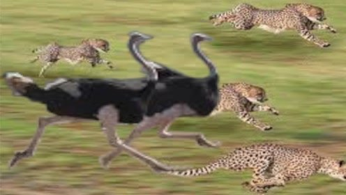 两只鸵鸟被猎豹追捕,生死角逐中,其中一只逃过了一劫