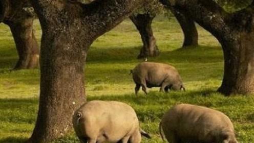 世界上最珍贵的猪:活得比人都要好,即使有钱也难吃到!