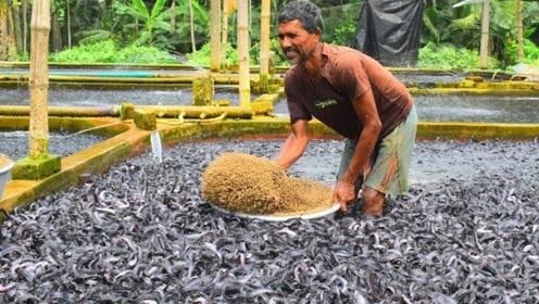 印度饲养的鲶鱼有多可怕?饲料丢进去,整个鱼池瞬间沸腾了!
