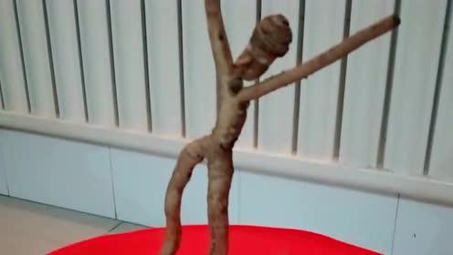 师傅从地里抛出来的,看上去像一个跳舞的小人,长得太奇怪了!