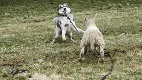 小绵羊要跟哈士奇打架,一头撞了过去,下一秒憋住别笑!