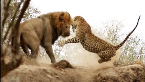 狮群的豹子不慎惹怒狮子,直接被雄狮咬断脖颈,现实版的伴君如伴虎