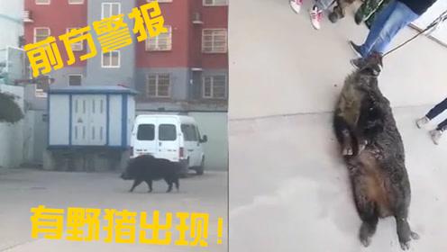 野猪闯入居民区连伤多人被当场击毙,目击者:呲着獠牙上面挂着血