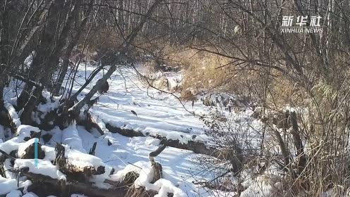 """来围观 貂熊在雪地中""""溜达""""""""撒欢"""""""