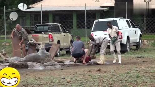 长颈鹿摔倒在水池,自己起不来了,救援人员合力把它弄起来