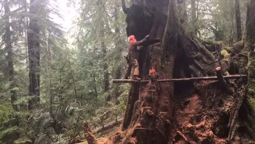 这是我见过最难伐的大树,实拍砍伐全过程,这工作一般人干不了