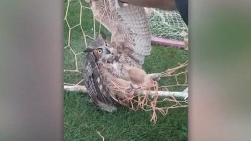 暖心!美国一猫头鹰夜间被足球网缠住 好心人剪刀解救感动网友