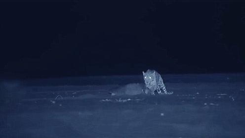 海龟夜间爬上沙滩产卵,结果惨被豹子捕杀,镜头拍下全过程!