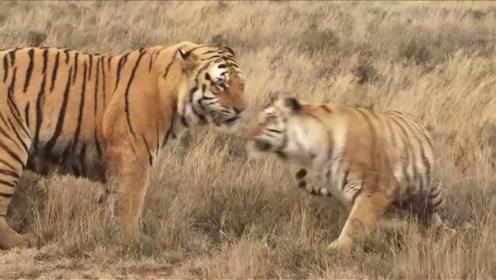 虎王下山巡视领地,发现一只母虎,想也没想就走过去,可惜母虎都不怎么理它